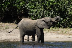 水辺の象の素材 [FYI01061330]