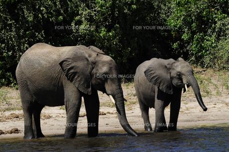 水辺の象の素材 [FYI01061332]
