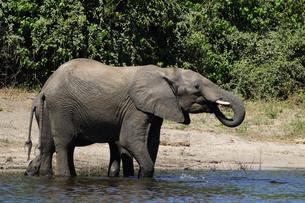 水辺の象の群れの素材 [FYI01061334]