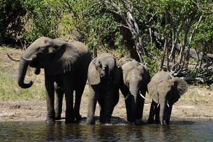 水辺の象の群れの素材 [FYI01061335]