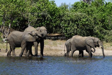 水辺の象の群れの素材 [FYI01061337]
