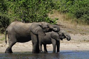 水辺の象の親子の素材 [FYI01061341]
