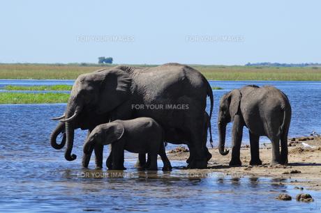 水辺の象の群れの素材 [FYI01061344]
