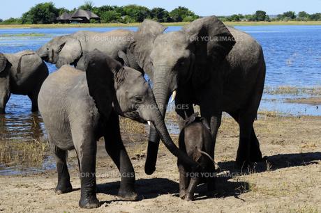 水辺の象の群れの素材 [FYI01061346]