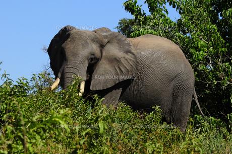 象の素材 [FYI01061348]