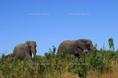 象の素材 [FYI01061356]