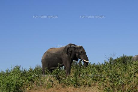 象の素材 [FYI01061358]