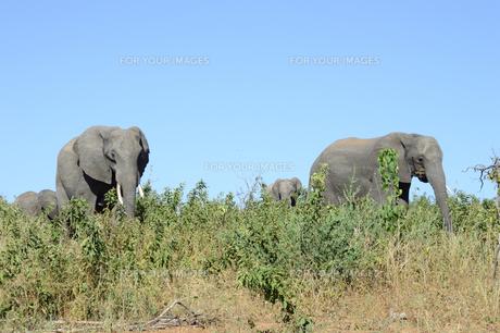 象の素材 [FYI01061500]