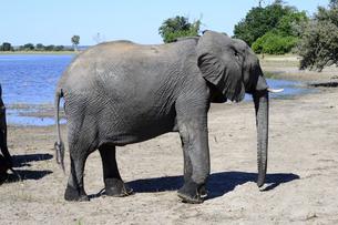水辺の象の素材 [FYI01061504]