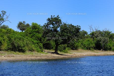 チョベ川のリバークルーズで見る川岸の木の素材 [FYI01061743]