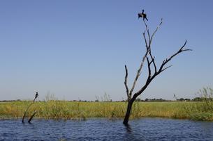 チョベ川のリバークルーズで見る木にとまる鳥の素材 [FYI01061745]