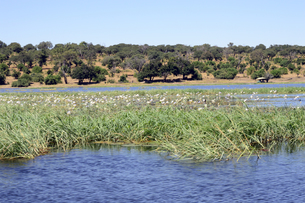 チョベ川のリバークルーズで見る水草の素材 [FYI01061759]