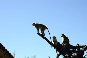 猿の素材 [FYI01061877]