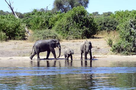 水辺の象の家族の素材 [FYI01061884]