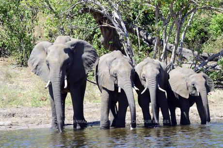 水辺の象の群れの素材 [FYI01061885]