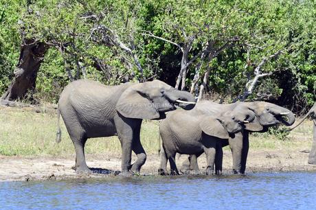 水辺の象の家族の素材 [FYI01061895]