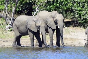 水辺の象の素材 [FYI01061896]