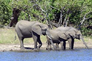 水辺の象の家族の素材 [FYI01061897]