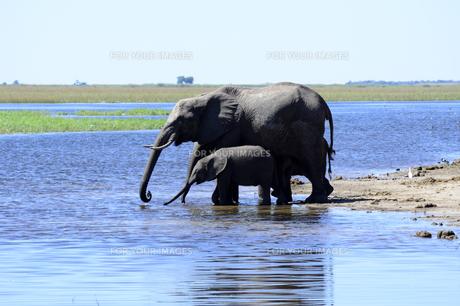 水辺の象の親子の素材 [FYI01061904]