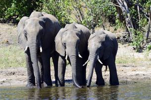 水辺の象の群れの素材 [FYI01061909]