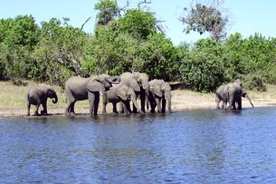 水辺の象の群れの素材 [FYI01061915]