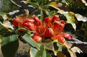 シルクコットンツリーの花の素材 [FYI01064278]