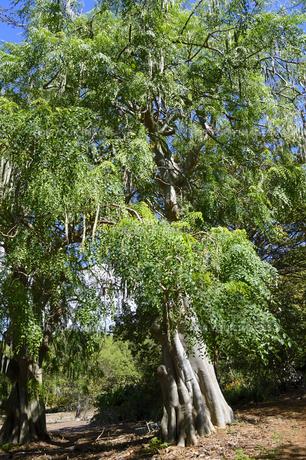 モリンガの木の素材 [FYI01064335]