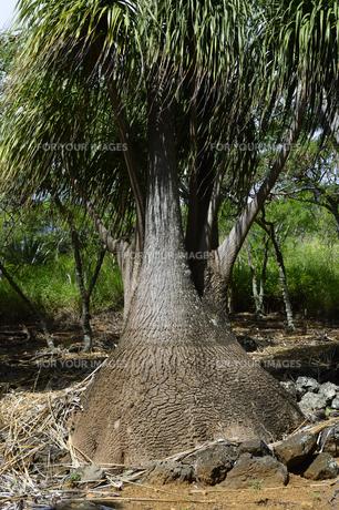 トックリランの木の素材 [FYI01064389]