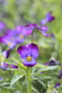 すみれの花の素材 [FYI01065748]