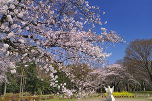 桜咲く代々木公園の素材 [FYI01070828]
