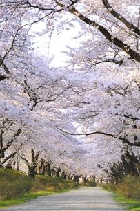 桜咲く北上展勝地の素材 [FYI01072834]