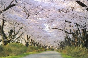 桜咲く北上展勝地の素材 [FYI01073008]