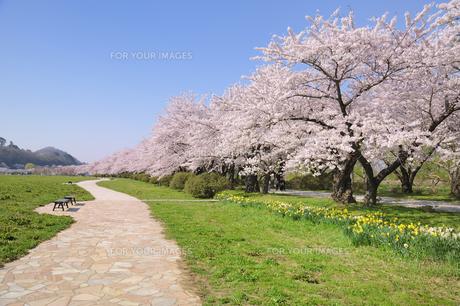 桜咲く北上展勝地の素材 [FYI01073037]
