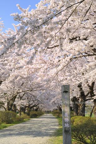 桜咲く北上展勝地の素材 [FYI01073041]