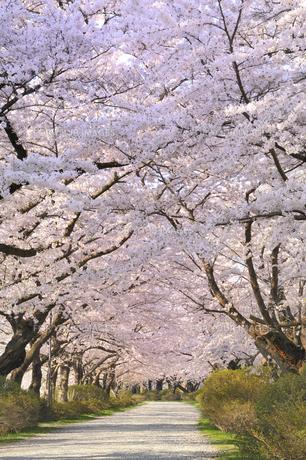 桜咲く北上展勝地の素材 [FYI01073210]