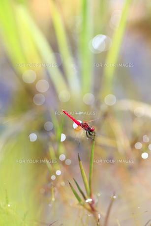 湿地の草に止まるハッチョウトンボの素材 [FYI01074116]