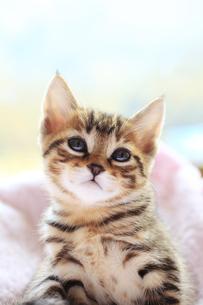 まどろむ子猫の素材 [FYI01074527]