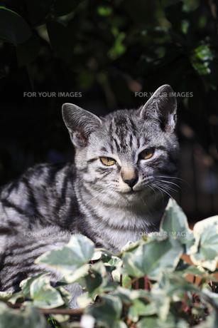 くつろぐ猫の素材 [FYI01074565]