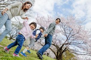 桜の咲く公園を手をつないで歩く4人家族の素材 [FYI01075217]