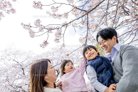 桜の咲く公園で談笑する4人家族の素材 [FYI01075218]