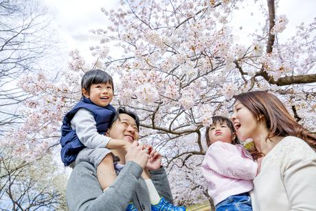 桜の咲く公園で談笑する4人家族の素材 [FYI01075323]