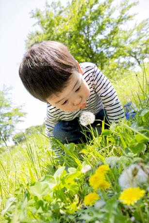 公園でタンポポの綿毛を吹く男の子の素材 [FYI01075499]