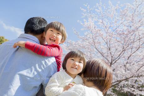 桜の咲く公園で遊ぶ4人家族の素材 [FYI01075837]
