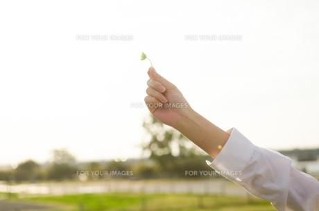 クローバーを持っている女性の手の素材 [FYI01078117]