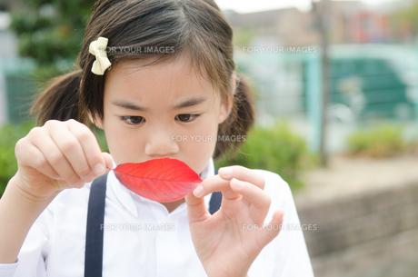 赤い葉っぱを見ている小学生の女の子の素材 [FYI01078256]