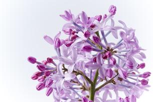 紫のライラックのアップの素材 [FYI01079383]