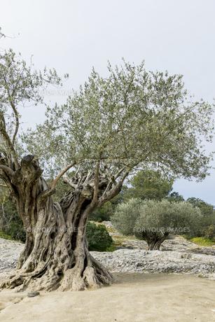 老木のオリーブの素材 [FYI01079693]