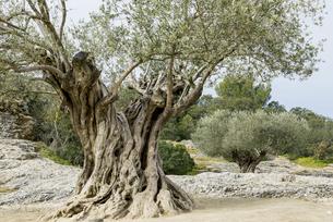 老木のオリーブの素材 [FYI01079705]