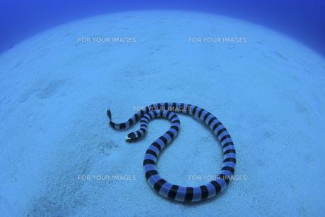 砂地で休むウミヘビの素材 [FYI01091881]