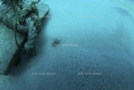 砂地で休んでいるカサゴの子供の素材 [FYI01092081]